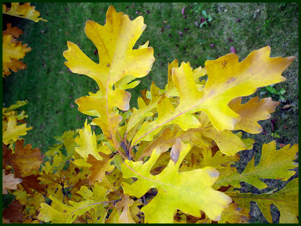 Texas Bur Oak Trees for Sale