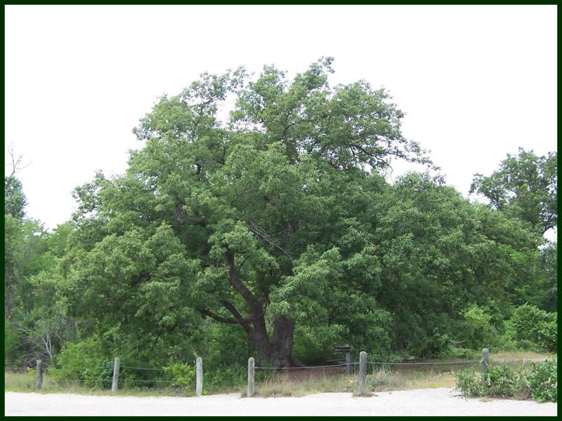 Texas Chinquapin Oak Trees For Sale