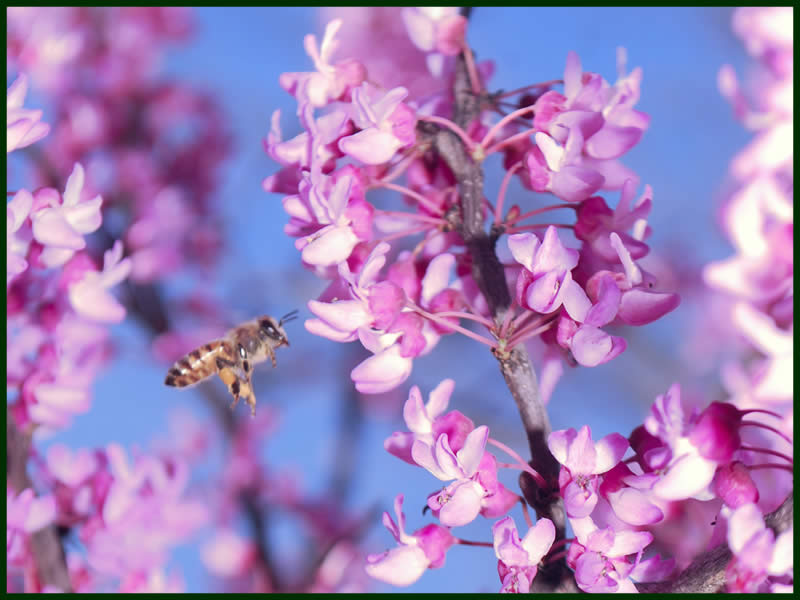 Texas Redbud Trees For Sale